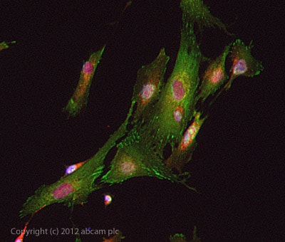 Immunocytochemistry/ Immunofluorescence - Anti-Kv4.2 antibody (ab123543)