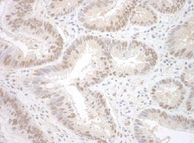 Immunohistochemistry (Formalin/PFA-fixed paraffin-embedded sections) - Anti-RBM17 antibody (ab124252)