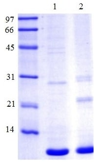 SDS-PAGE - Claudin 4 protein (Tagged-His Tag) (ab124320)