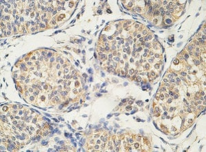 Immunohistochemistry (Formalin/PFA-fixed paraffin-embedded sections) - Anti-PLCZ1 antibody (ab124446)