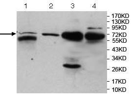 Western blot - Anti-MBD4 antibody (ab124460)