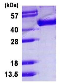 SDS-PAGE - Influenza A Hemagglutin HA1 protein (His tag) (ab124542)