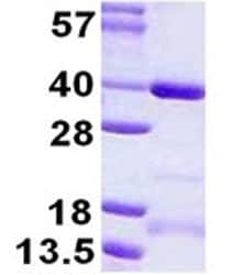 SDS-PAGE - SGF29 protein (ab124547)