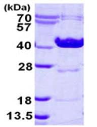 SDS-PAGE - Ornithine Carbamoyltransferase protein (ab124552)