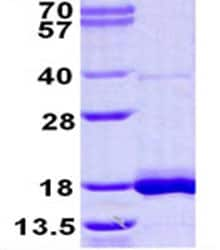 SDS-PAGE - LSM3 protein (His tag) (ab124558)