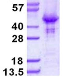 SDS-PAGE - HOMER2 protein (His tag) (ab124559)