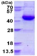 SDS-PAGE - GNAI3 protein (His tag) (ab124586)