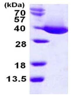 SDS-PAGE - mdh protein (His tag) (ab124594)