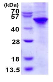 SDS-PAGE - UBA5 protein (His tag) (ab124609)