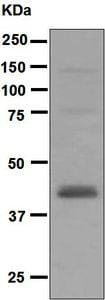 Western blot - Anti-Rad51L1 antibody [EPR5728] (ab124675)