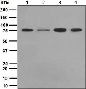 Western blot - Anti-ENAH antibody [EPR5660] (ab124685)