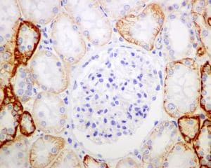 Immunohistochemistry (Formalin/PFA-fixed paraffin-embedded sections) - Anti-GRIK2 antibody [EPR6307] (ab124702)