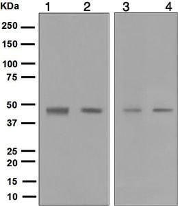 Western blot - Anti-MCRS1 antibody [EPR5855] (ab124704)