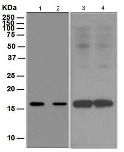 Western blot - Anti-FLAP antibody [EPR5640] (ab124714)
