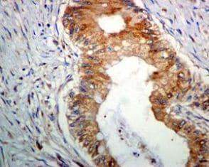 Immunohistochemistry (Formalin/PFA-fixed paraffin-embedded sections) - Anti-BMP11 + GDF8 / Myostatin antibody [EPR4567(2)] (ab124721)