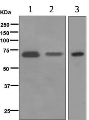 Western blot - Anti-CD73 antibody [EPR6115] (ab124725)
