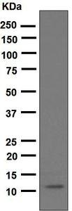 Western blot - Anti-GRO alpha antibody [EPR4903] (ab124731)
