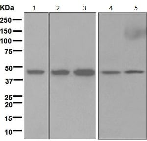 Western blot - Anti-HRH3 antibody [EPR5631] (ab124732)