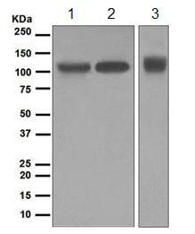Western blot - Anti-ATG9A antibody [EPR5973] (ab124739)