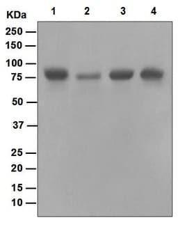Western blot - Anti-RAP80 antibody [EPR5315] (ab124763)