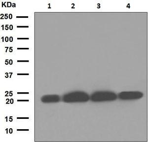Western blot - Anti-COPS8 antibody [EPR5139] (ab124779)