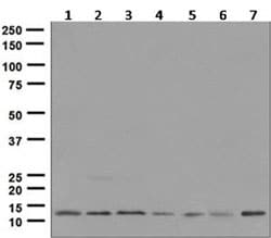 Western blot - Anti-Histone H2A.Z antibody [EPR6172] (ab124793)