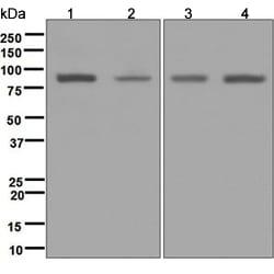 Western blot - Anti-RALBP1 antibody [EPR6473] (ab124816)