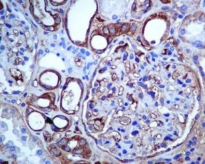 Immunohistochemistry (Formalin/PFA-fixed paraffin-embedded sections) - Anti-SLC22A3 antibody [EPR6630] (ab124826)