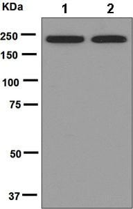 Western blot - Anti-DOCK2 antibody [EPR6647] (ab124838)
