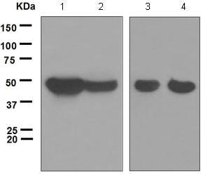 Western blot - Anti-p39 antibody [EPR5074] (ab124896)