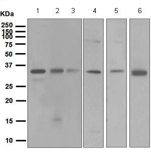 Western blot - Anti-XRCC2 antibody [EPR5149] (ab124900)
