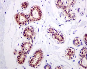 Immunohistochemistry (Formalin/PFA-fixed paraffin-embedded sections) - Anti-FKBP52 antibody [EPR6619] (ab124906)