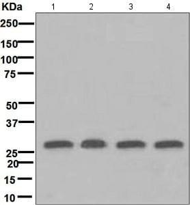 Western blot - Anti-14-3-3 Theta + Tau antibody [EPR5123] (ab124909)