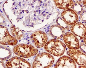 Immunohistochemistry (Formalin/PFA-fixed paraffin-embedded sections) - Anti-UCH37 antibody [EPR4896] (ab124931)
