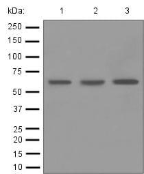 Western blot - Anti-SHP1 antibody [EPR5519] (ab124942)
