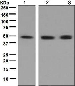 Western blot - Anti-RAD52 antibody [EPR3464(2)] (ab124971)