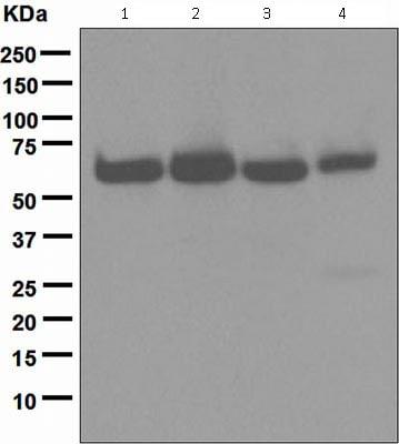 Western blot - Anti-HDAC2 antibody [EPR5001] (ab124974)