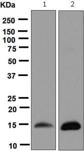 Western blot - Anti-Cardiac FABP antibody [EPR6127] (ab124978)