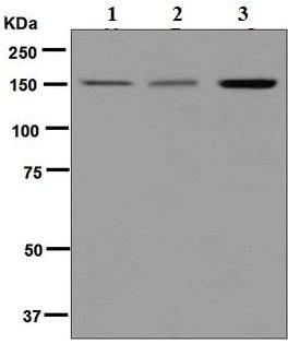 Western blot - Anti-MYBBP1A antibody [EPR7204] (ab125026)