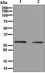 Western blot - Anti-Histone H1.0 [EPR6537] antibody (ab125027)