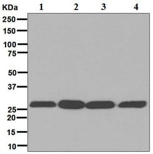 Western blot - Anti-14-3-3 [EPR6380] antibody (ab125032)
