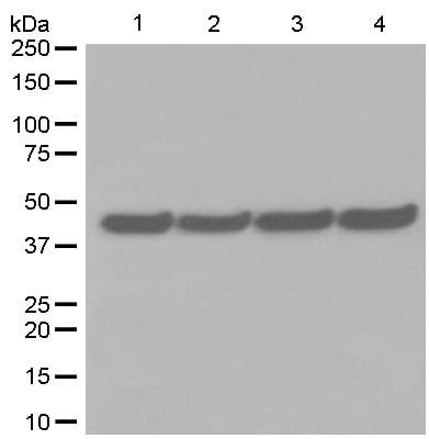 Western blot - Anti-EDG1 antibody [EPR4538(2)] (ab125074)