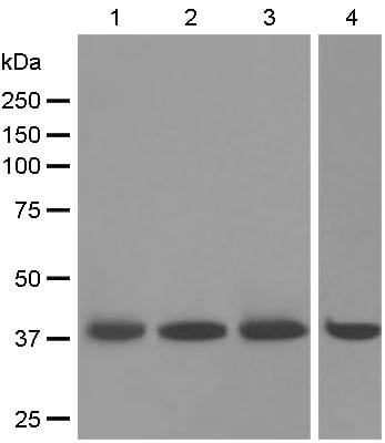 Western blot - Anti-Myf5 antibody [EPR4899] (ab125078)