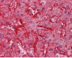 Immunohistochemistry (Formalin/PFA-fixed paraffin-embedded sections) - Anti-liver Arginase antibody (ab125134)