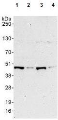 Western blot - Anti-SHARPIN antibody (ab125188)