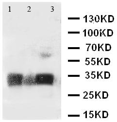 Western blot - Anti-Aquaporin 3 antibody (ab125219)