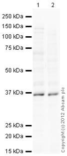 Western blot - Anti-Rex1 antibody (ab125236)