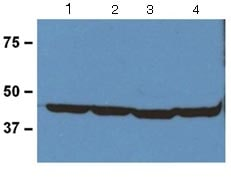 Western blot - Anti-beta Actin antibody [BA3R] - Loading Control (ab125248)
