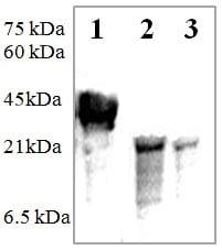 Western blot - Anti-PDGF AA  antibody (ab125268)