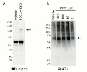Western blot - Hif1 + GLUT Hypoxia Human In Cell ELISA Kit (ab125298)